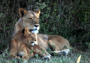 Lion Family 8